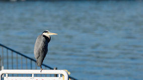 Punto di vista vicino dell'uccello di Grey Heron Immagini Stock Libere da Diritti