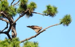 Punto di vista vicino dell'uccello giapponese del nibbio Immagine Stock Libera da Diritti