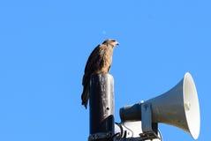 Punto di vista vicino dell'uccello giapponese del nibbio Fotografia Stock