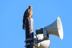 Punto di vista vicino dell'uccello giapponese del nibbio Immagine Stock