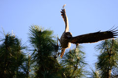 Punto di vista vicino dell'uccello giapponese del nibbio Fotografia Stock Libera da Diritti