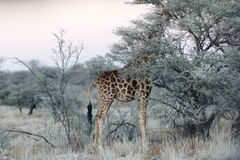 Punto di vista vicino della giraffa namibiana che mangia le foglie verdi sottili Fotografie Stock