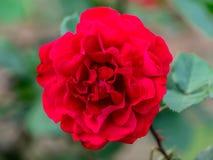 Punto di vista vicino della regina rossa Rosa Fotografia Stock Libera da Diritti
