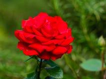 Punto di vista vicino della regina rossa Rosa Immagine Stock Libera da Diritti