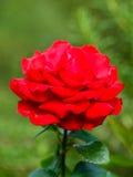Punto di vista vicino della regina rossa Rosa Immagini Stock Libere da Diritti