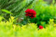 Punto di vista vicino della rosa rossa di Victor Hugo Fotografia Stock Libera da Diritti