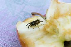 Punto di vista vicino di una vespa su una mela fotografia stock libera da diritti