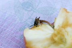 Punto di vista vicino di una vespa su una mela immagine stock