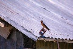 Punto di vista vicino di un sorso che si siede su un tetto del granaio immagine stock libera da diritti