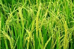 Punto en los campos del arroz Fotografía de archivo