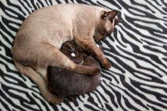 Punto Kitten Cuddles Smaller Kitten On della guarnizione di sonno una zebra Bla fotografia stock