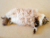 Punto pedigrí del sello del gato atigrado del lince el dormir Ragdoll Imágenes de archivo libres de regalías
