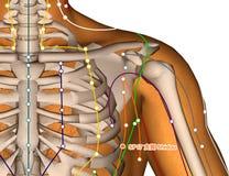 Punto SP17 Shidou, de la acupuntura ejemplo 3D Foto de archivo