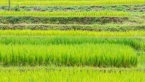 Punto verde del giacimento del riso del terrazzo sulla montagna Immagini Stock Libere da Diritti