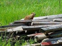 Punto Wisconsin di stevens della marmotta nordamericana Fotografie Stock