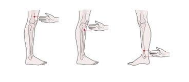 Puntos activos de la acupuntura en las piernas: sobre la rodilla, debajo de la rodilla, sobre el tobillo libre illustration