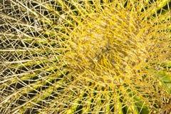 Puntos agudos cortos en todas las direcciones de un cierre verde de la planta del cactus junto fotos de archivo