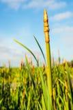 Puntos de la flor del cattail hojoso Imágenes de archivo libres de regalías