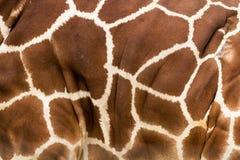Puntos de la jirafa en modelo de la piel fotografía de archivo libre de regalías