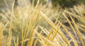 Puntos de oro del trigo hechos excursionismo con luz del sol natural imagenes de archivo