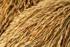 Puntos del arroz Foto de archivo