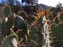 Puntos del cactus del contraluz Fotografía de archivo libre de regalías