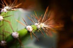 Puntos del cactus en línea en el invernadero Fotografía de archivo libre de regalías