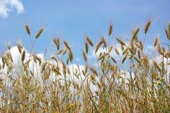 Puntos del trigo con el cielo. foto de archivo