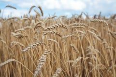 Puntos del trigo debajo del cielo azul Imagenes de archivo