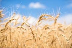 Puntos del trigo delante del cielo azul Foto de archivo