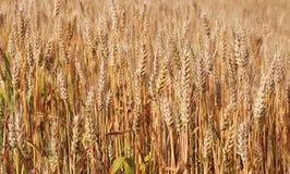 Puntos del trigo maduro Foto de archivo