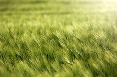 Puntos del trigo verde que crecen en el verano, fondo de la agricultura Imagen de archivo