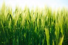 Puntos del trigo verde que crecen en el verano, fondo de la agricultura Imagenes de archivo