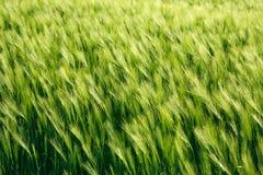 Puntos del trigo verde que crecen en el verano, fondo de la agricultura Fotos de archivo