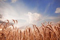 Puntos del trigo y del cielo azul Imagen de archivo libre de regalías