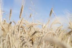 Puntos oro-coloreados maduros del trigo a través del cielo azul Imagen de archivo