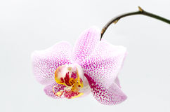 Puntos rosados de la orquídea blanca Imagen de archivo