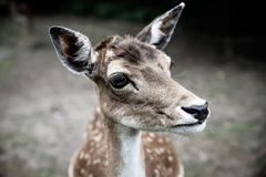 Close-up scared deer royalty free stock image