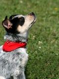 Pup 14 di Heeler Fotografie Stock