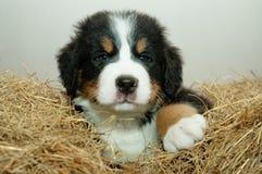 Pup Stock Photos