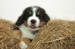 Pup Royalty Free Stock Photos