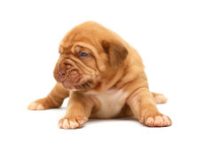 Pup. Royalty Free Stock Images