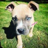 pup Fotografia de Stock