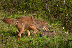 Pup and Adult Coyote (Canis latrans) on the Prowl. Captive animals Stock Photo