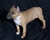 Pup americano dello Staffordshire Fotografie Stock