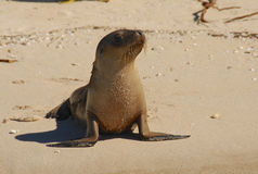 A pup australian sea lion on the beach Stock Photos