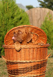 Pup in a basket. Puppy of breed a mastiff from Bordeaux in the big basket Royalty Free Stock Images