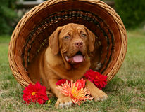 Pup in a basket with flowers. Stock Photos