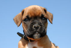 Pup boxer Stock Photography