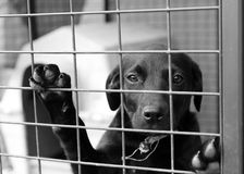 Pup in a cage. Homeless animals series. Black pup with his paws up looking out from his cage. Black and white image Royalty Free Stock Photography